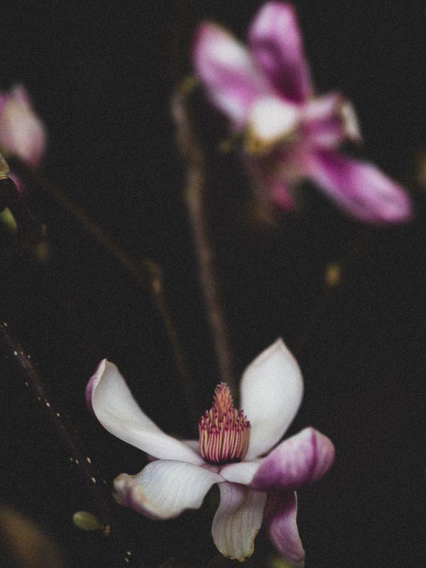magnolia bloom (II) thumbnail