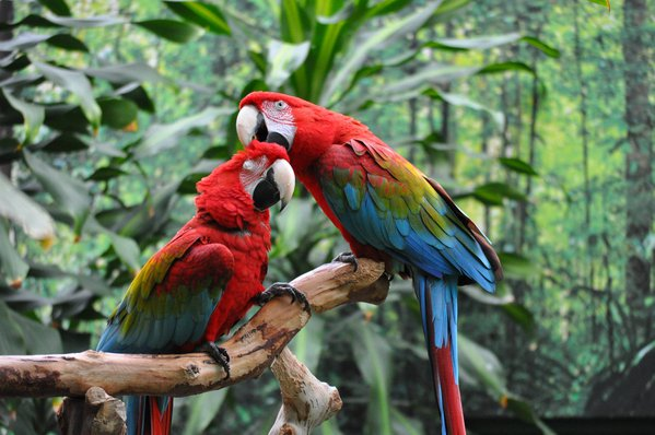 Green Wing Macaw Parrots thumbnail