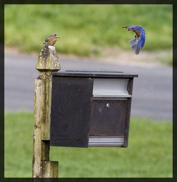 Birds on mailbox thumbnail