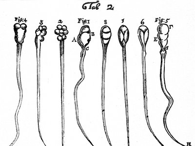 Leeuwenhoek's early microscopic observations of rabbit sperm (figs. 1-4) and dog sperm (figs. 5-8).