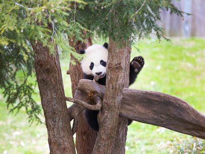 Celebratory events are scheduled November 11 to 18 to wish Bei Bei, the giant panda, a Bon Voyage.