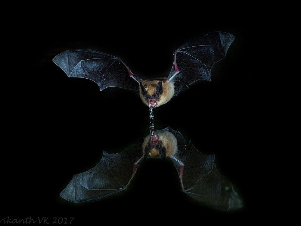 Long-eared Myotis bat (Myotis septentrionalis), photographed in Arizona.