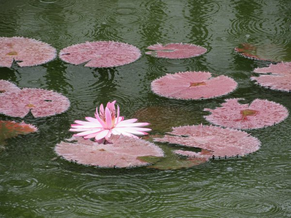 Bathing Pink Water Lily thumbnail