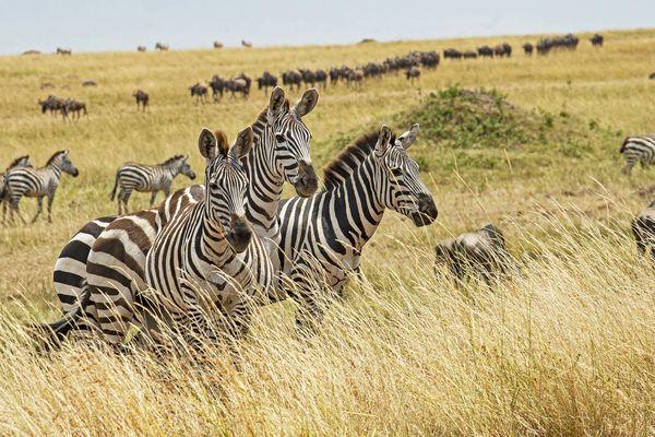 Zebras in migration thumbnail