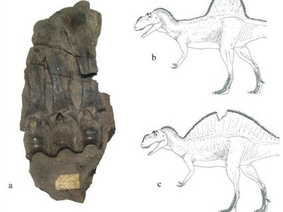 The peculiar, high-spined specimen that represents Becklespinax (left), and two possible restorations of the dinosaur by Darren Naish (right).
