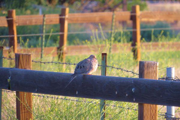 dove early morning walk thumbnail