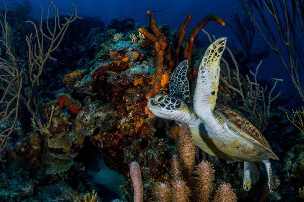 Young Green Turtle swimming between corals at Karpata. thumbnail