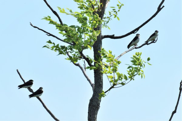 Four Swallows Upon a Tree thumbnail