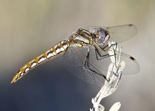 dragonfly on sage thumbnail