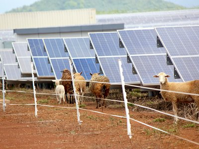 Grazing sheep on solar farms can be a win-win for the energy and agricultural industries.