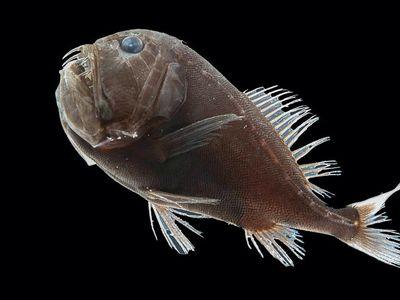 One specimen of the ultra-black fish species Anoplogaster cornuta.