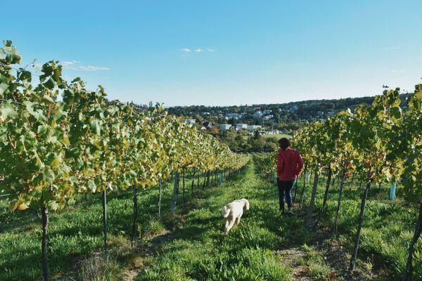 Through the Vineyards thumbnail