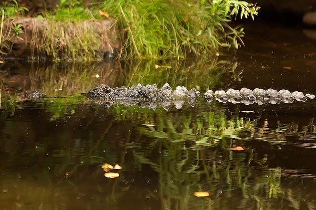 2013082310302308_23_2013_crocodile.jpg
