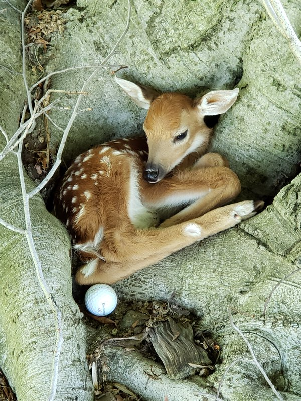 A Fawn for your Caddie thumbnail