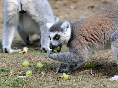 To find the roots of an unlikely connection, researchers are untangling lemur microbiomes. Here, ring-tailed lemurs  feast at Serengeti Park in Hodenhagen, Germany.