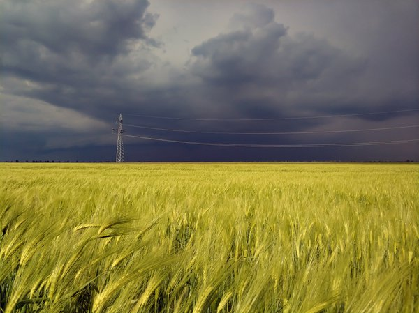 Wheat field before the storm thumbnail