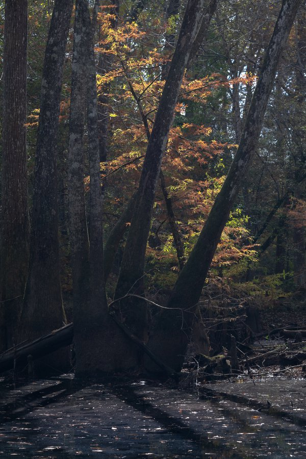 Fall in Big Thicket National Preserve thumbnail