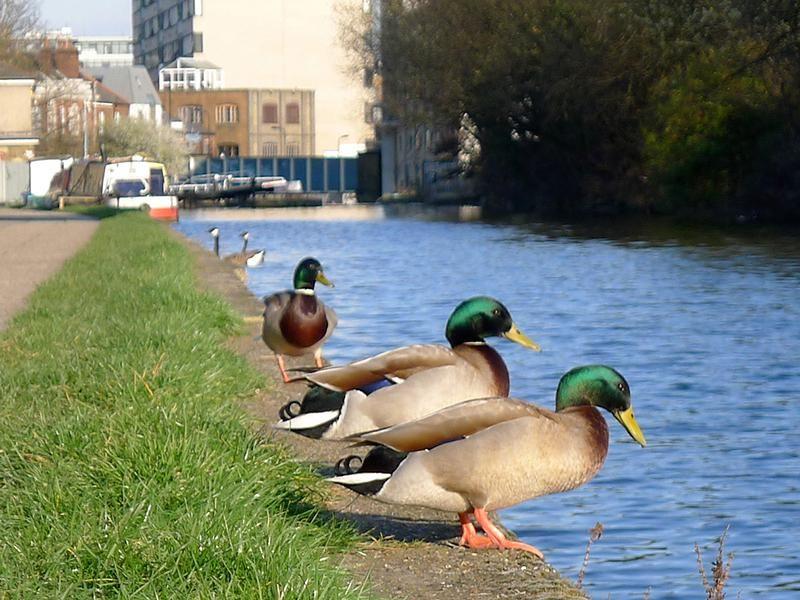 Ducks on Regents Canal