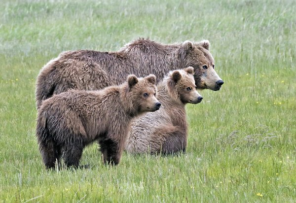 Grizzly Bear family, Alaska thumbnail