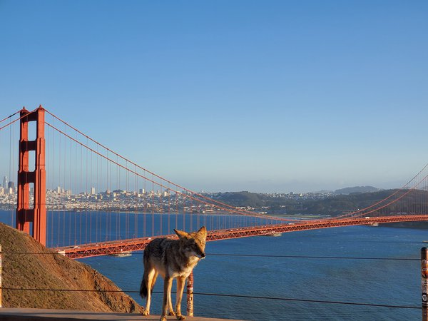 Coyote leaning into the sun in front of Golden Gate Bridge thumbnail