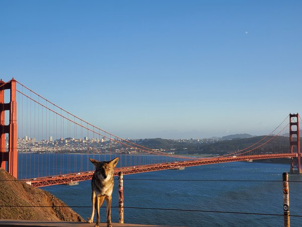 Coyote locking eyes in front of the Golden Gate Bridge thumbnail