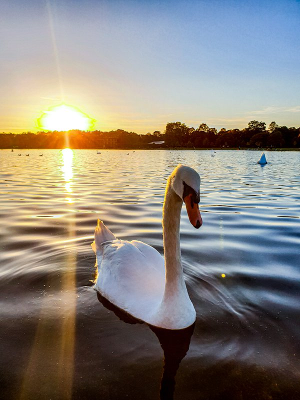 A swan swimming during sunset thumbnail
