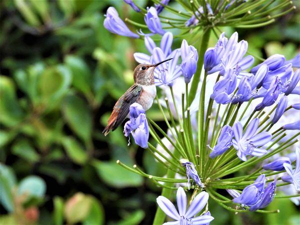 Allen's hummingbird.  Nikon Coolpix P1000 thumbnail
