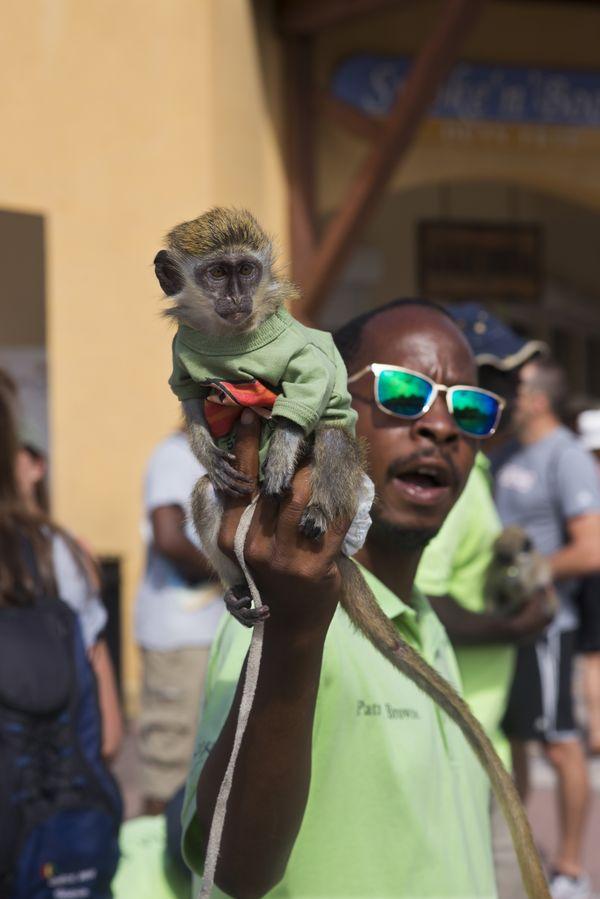 Man holding pet Vervet Monkey, St. Kitts thumbnail