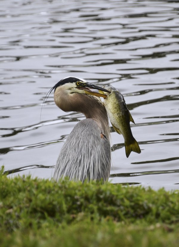 Great Blue Heron catches Bass in Florida thumbnail