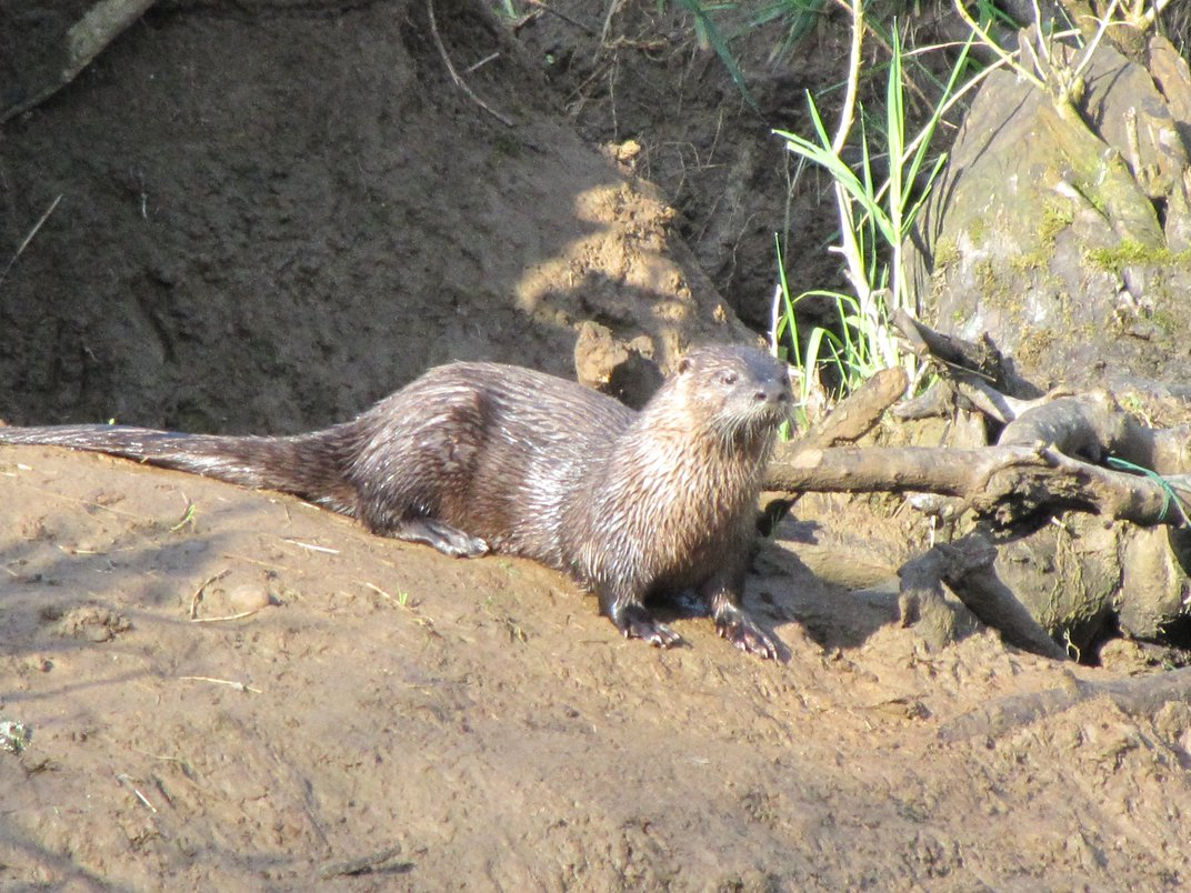 A wild River Otter sitting on the bank of a stream ...