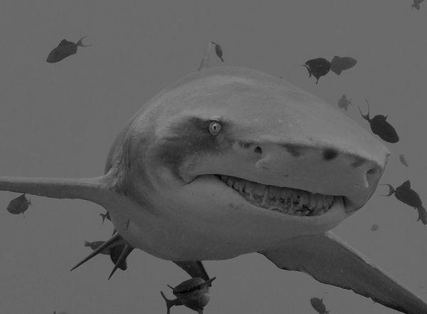 Lemon Shark thumbnail