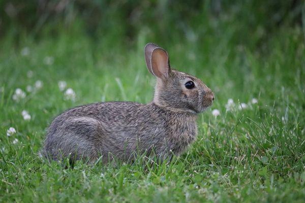 A rabbit standing firm thumbnail