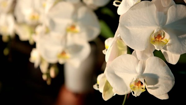 Preview thumbnail for Behind the Scenes at the World Orchid Convention