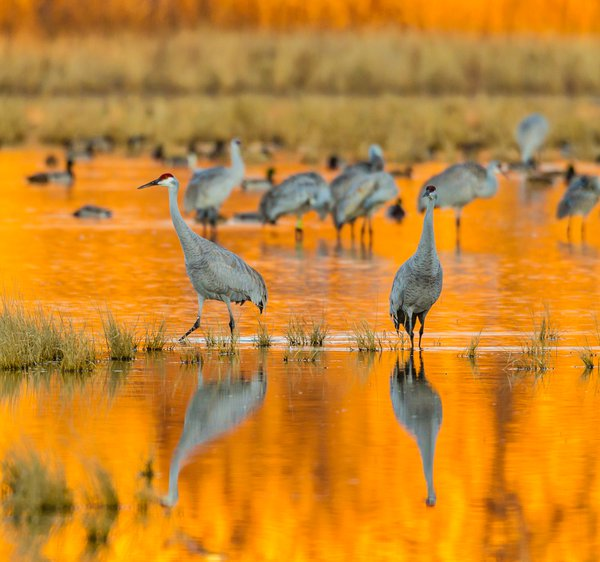 Sandhill cranes in golden reflection. thumbnail