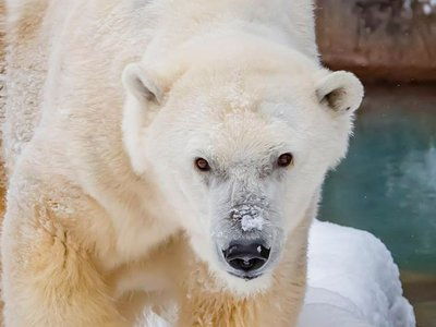 In captivity under human care, a polar bear's life expectancy is about 23 years, per AP. Polar bears rarely livepast 30 years old in the wild, with most adult bears dyingbefore they reach 25.