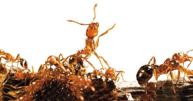 Fire ants