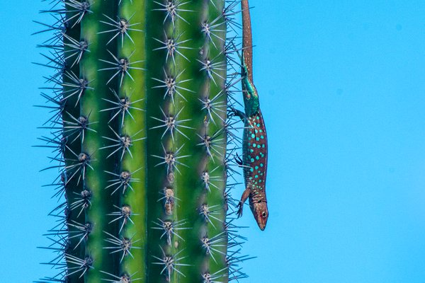 Aruban Whiptail Lizard thumbnail