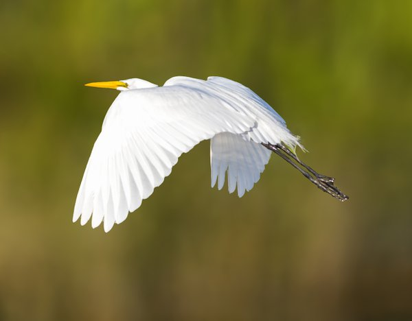 A Great Egret in flight at Wakodahatchee Wetlands thumbnail