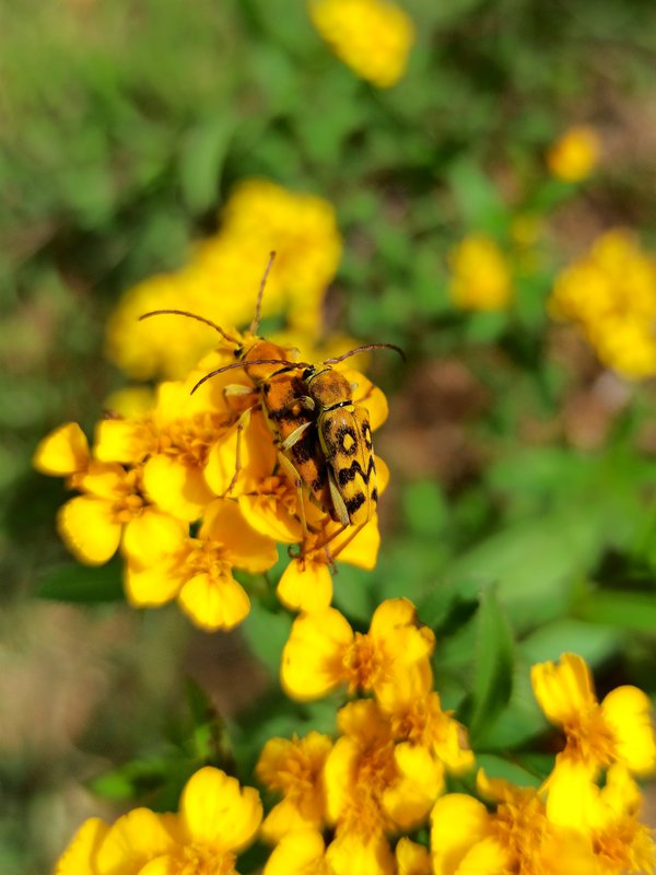 Ochraethes sommeri mating thumbnail