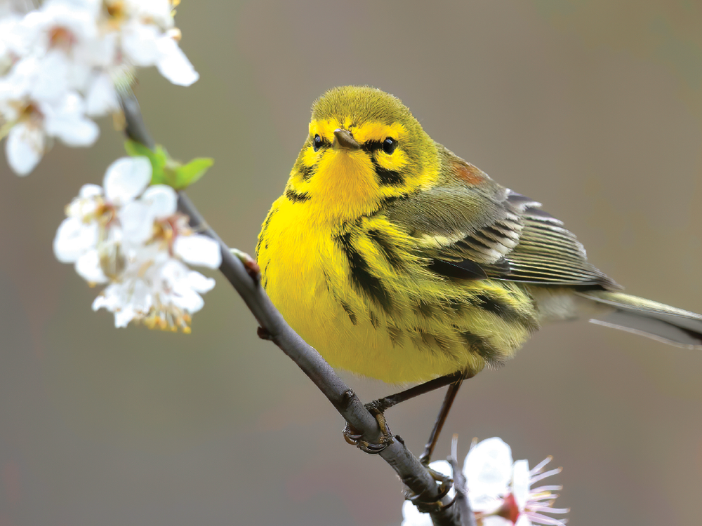 A prairie warbler greets the spring in New Jersey. PHOTO Cameron Darnell
