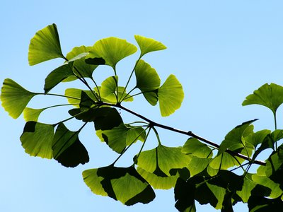 Ginkgo trees, which produce characteristic fan-shaped leaves, can live for thousands of years.