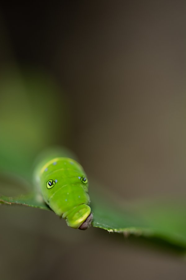 Eyes of Swallowtail Caterpillar  thumbnail