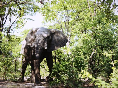 An elephant at Moremi Game Reserve in Maun, Botswana.