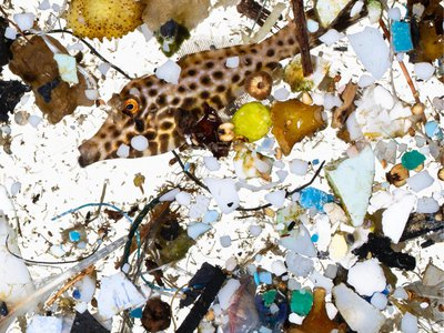 A two-month-old filefish collected in the survey surrounded by plastic bits.