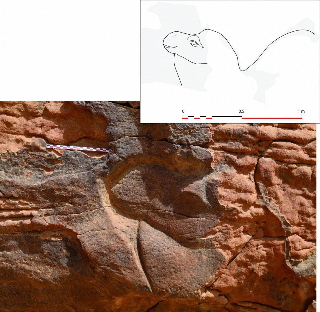 Life-Size Camel Carvings Found in the Saudi Desert
