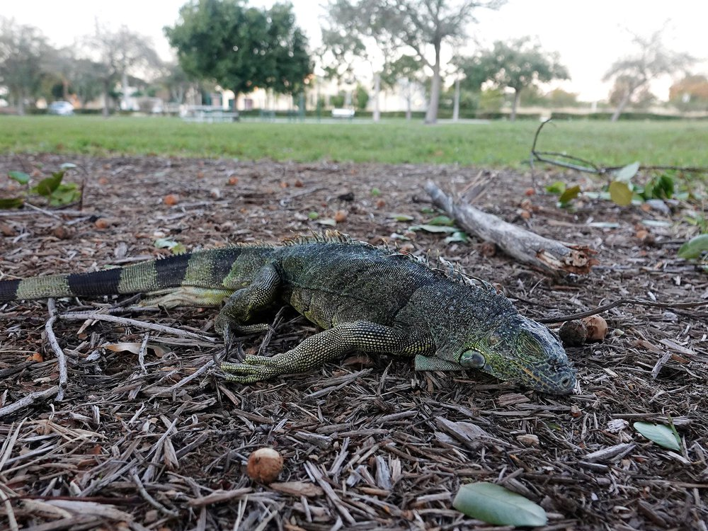 Stunned iguana during cold weather in Florida