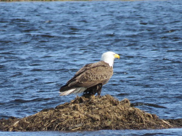 Bald Eagle on dirt in middle of lake thumbnail
