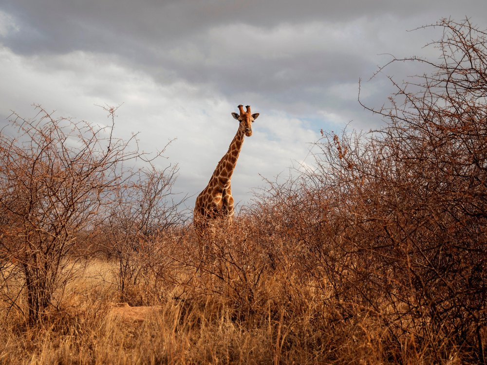 In the foreground, tall brush and grass blur a tall giraffe standing in the field. In the background, gray clouds loom overhead.