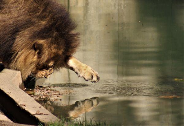 Lion at National Zoo thumbnail