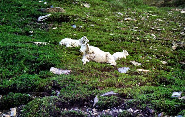 Three Generations Mountian Goats thumbnail
